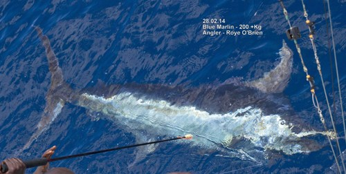 Blue Marlin Being Tagged