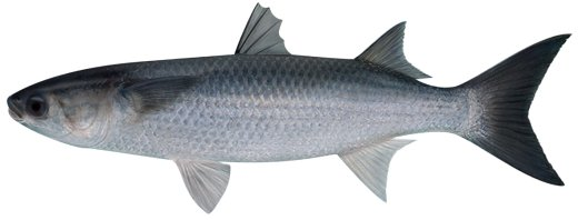 Flathead mullet for Eating mullet fish