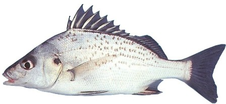 Spotted Grunter - FishingInfo.co.za